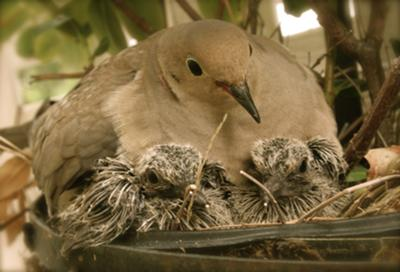 Mother with babies days after hatching