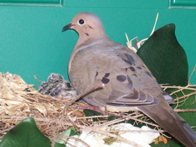 Mama Dove & 2 Babies in Nest in Wreath
