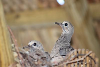 Curous Baby Mourning Doves