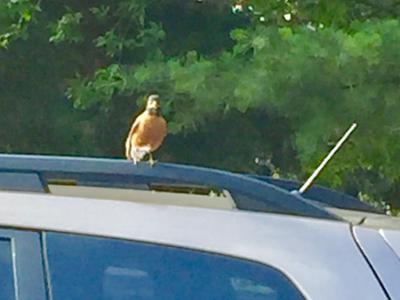An angry mama robin is watching me!