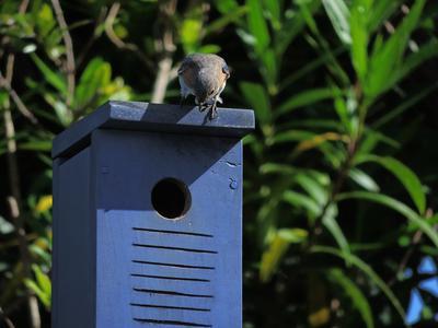 Hello bluebirds!