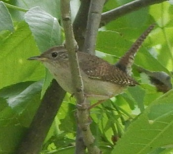 House Wren Habits - Nesting, Feeding, Mating