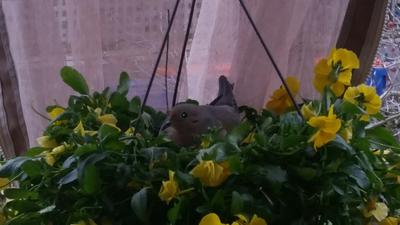 Mourning Dove in Pansies