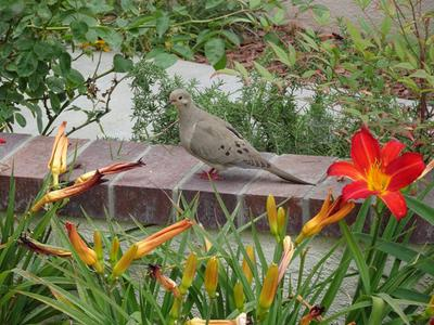 Mourning Dove in Vine by Garage