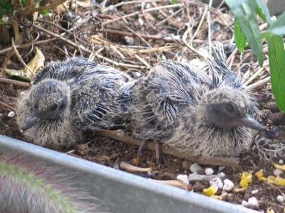 Five day old mourning doves