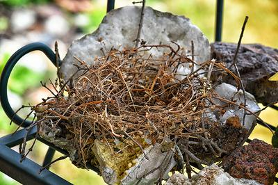 A built mourning dove's nest.