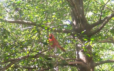 Red in his tree