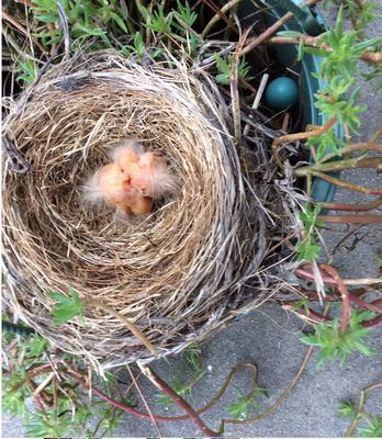 Baby robins. Named them Virginia and Carrollton.