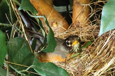 Mama Robin in the Nest