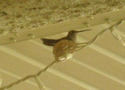 Nesting Hummingbird