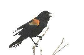 Red-Winged Blackbird Poem