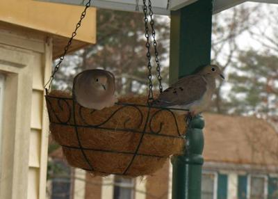 male and female dove in hanging planter