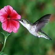 Ruby-throated hummingbird on favorite flower