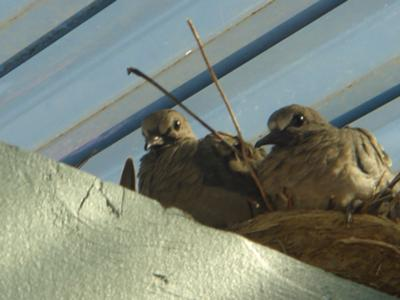 2nd set of dove hatchlings