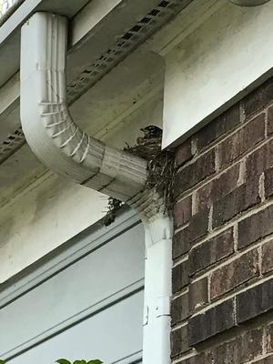 Robin Nest on Downspout