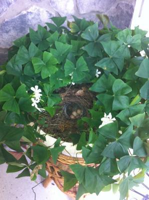 nest in shamrock plant